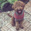 Van Beren dog sweater JAZZMAN, handmade in Austria, merino wool, eco consciouis clothes, dog present, hand knitted, fairfashion, heirloom, VAN BEREN